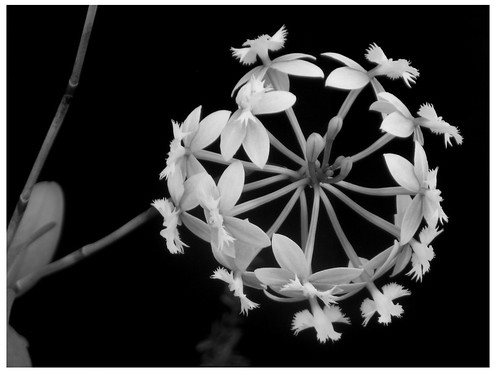 B/W Orchid | by archymommy