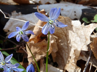 Siberian Squill 1 | by geodeos
