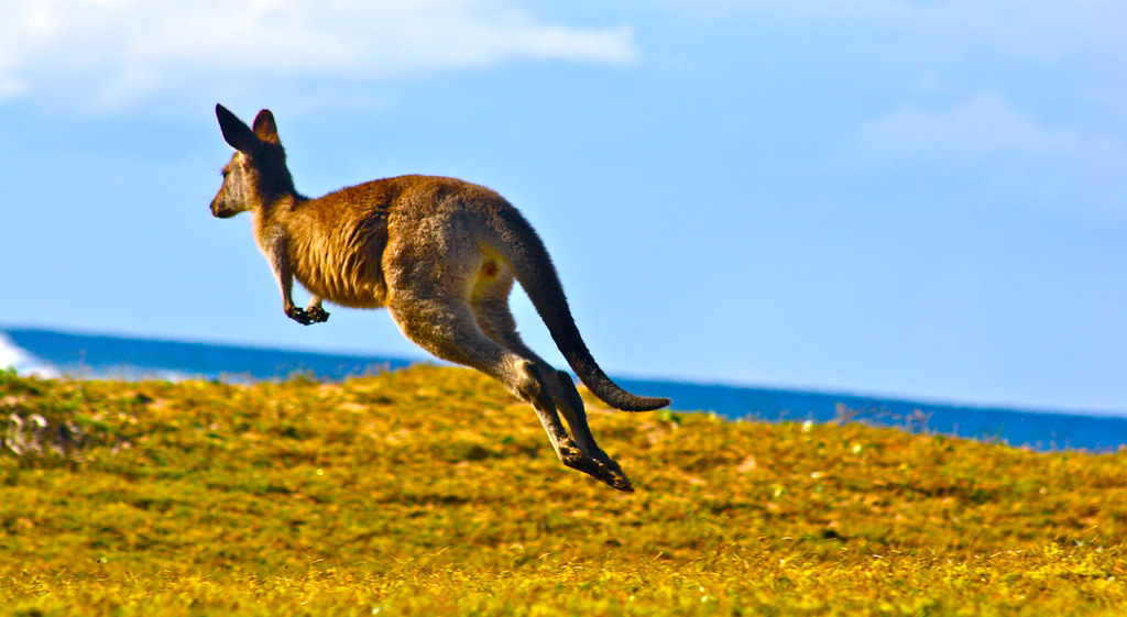 Pebbly Beach Kangaroos...