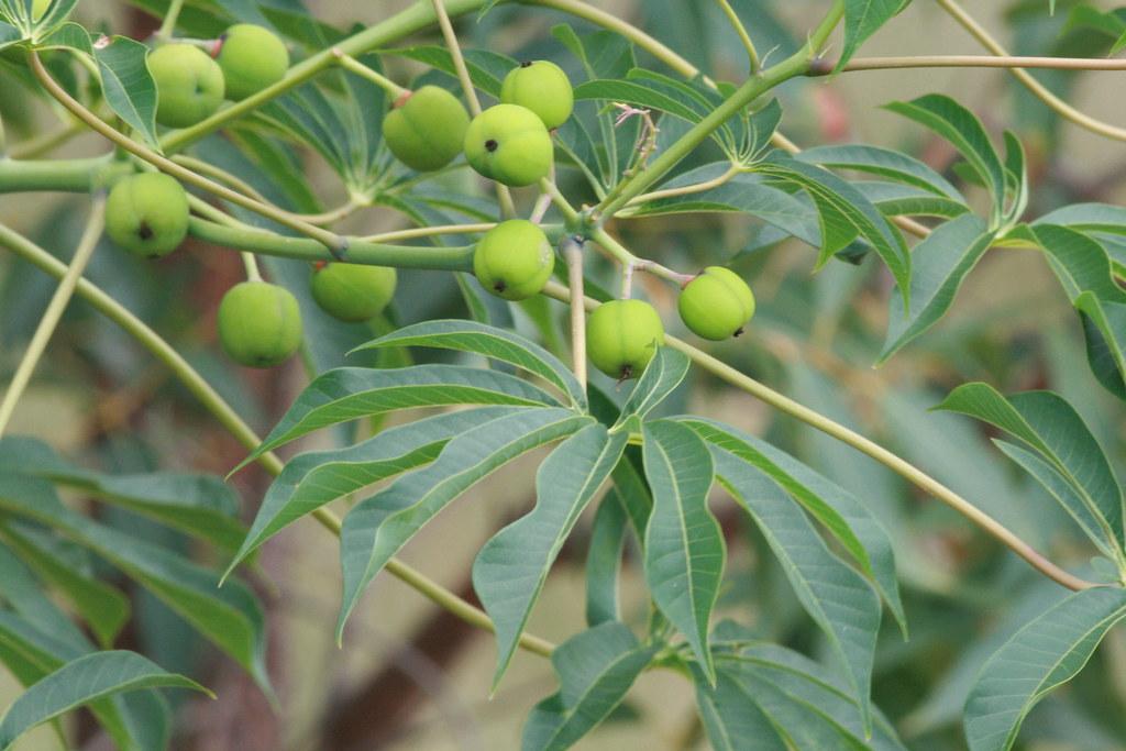 Manihot grahamii (Graham's Cassava; Hardy Tapioca) | Flickr