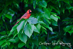 Cardinal in front yard | by Christopher Ward (cwardphoto)