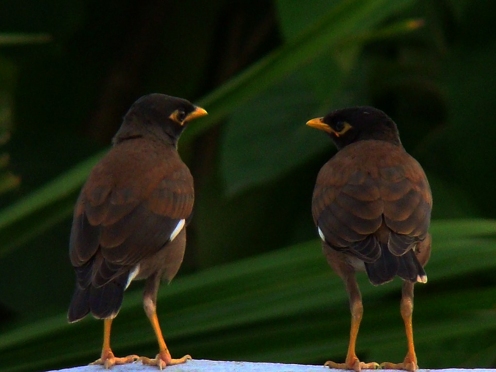 Acridotheres Tristis Wallpapers Shalikh Common Myna or