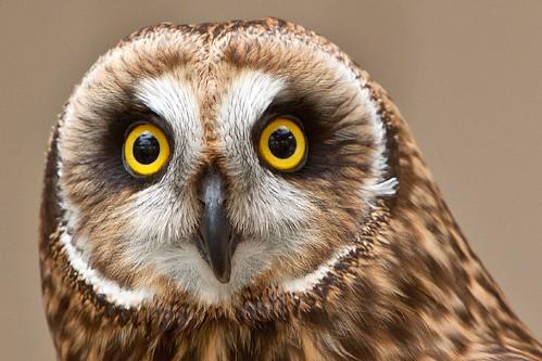 Hawaiian Short-Eared Owl | LA Zoo 06-13-10 -- Halakakiki ...