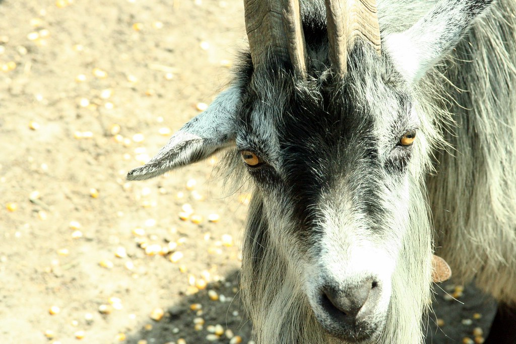 Long Haired Goat Stares Me Down Wulfpak05 Flickr