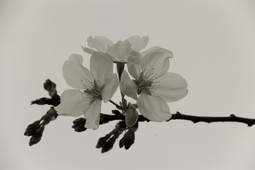 Cherry Blossoms in Black and White | Isolated cherry ...