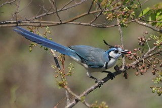 White-throated Magpie-Jay (Calocitta formosa) | by bayucca