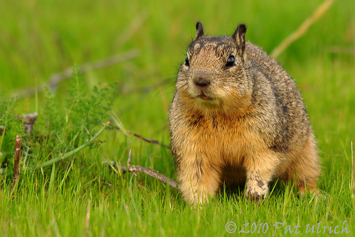 California Ground Squirrel | by Pat Ulrich