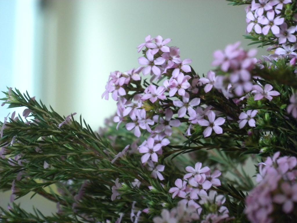 Juniper Flowers | Juni...
