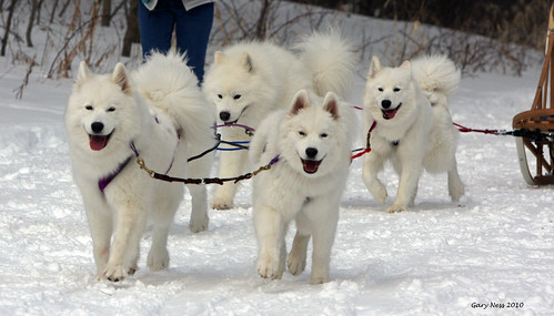 Sams Sledding G Ness Samoyed Dog 072t Ice From Left To