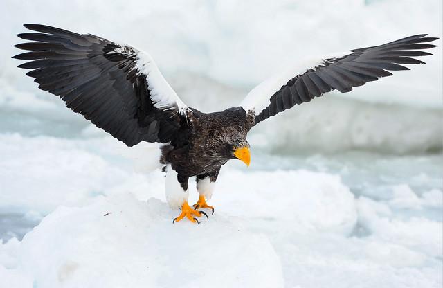 虎頭海鵰 steller`s sea eagle