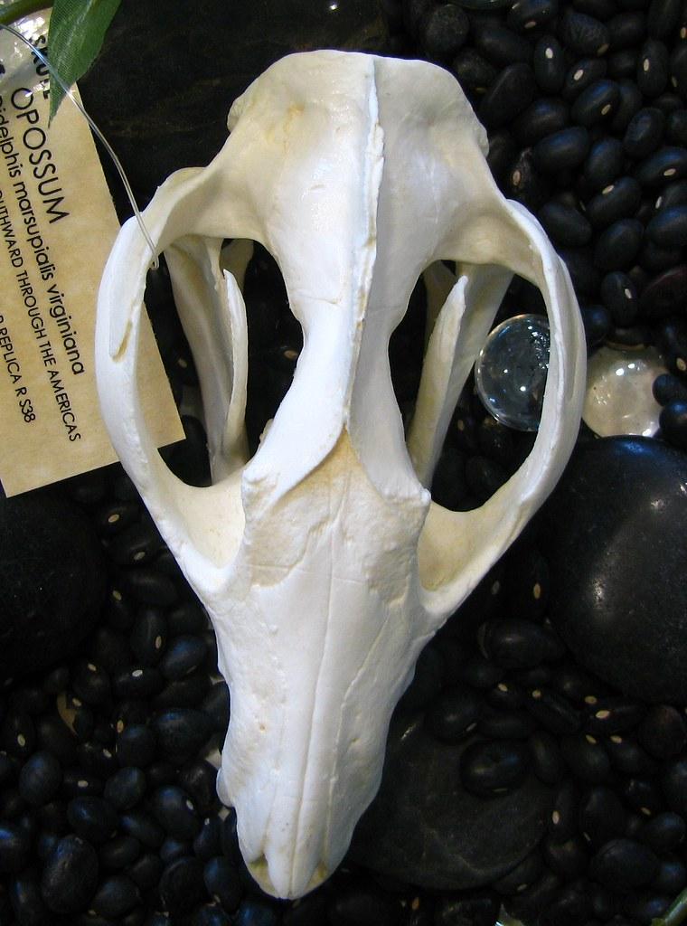 Virginiana Skull Virginiana Skull | Flickr