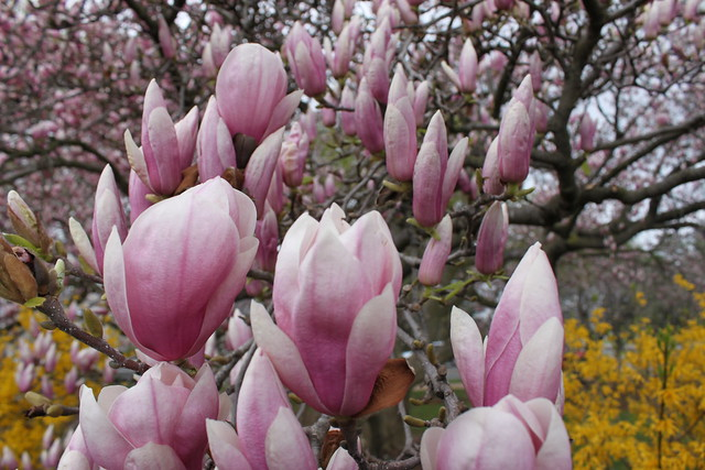 Pink Purple Magnolia Flowers National Cherry Blossom ...