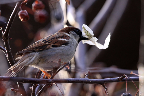 House Sparrow | by Laura Erickson