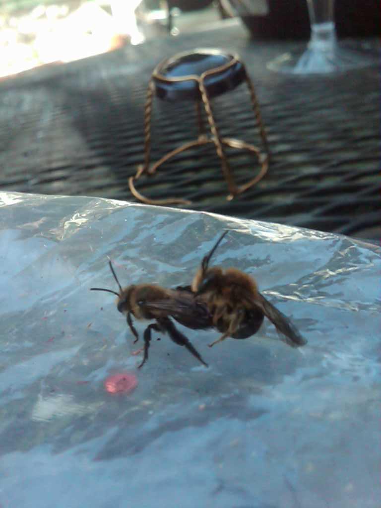 Bee sex