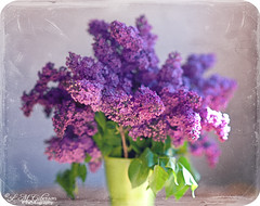 lilacs<3 | by Linkie Lueville {lindsay}