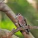 Série com o Tico-tico-rei, Tico-Tico-rei vermelho (Coryphospingus cucullatus) - Series with the Red-crested Finch - 16-05-2010 - IMG_7981