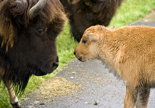 Bison and calf | by canopic