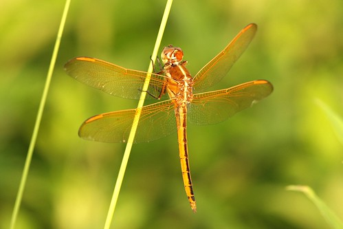 Golden Winged Skimmer | by DrPhotoMoto