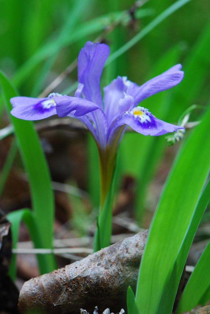 Dwarf Lake Iris (Iris lacustris)