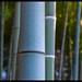Bamboo at Shoren-in