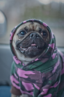 Thug Pug | by That Guy Who's Going Places