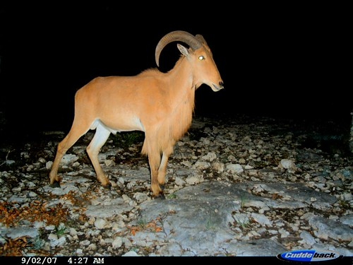 Aoudad | by Philip Nelson