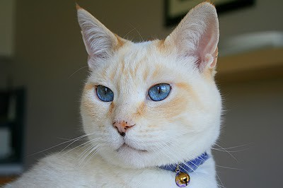 Pictures Of Siamese Manx Cats