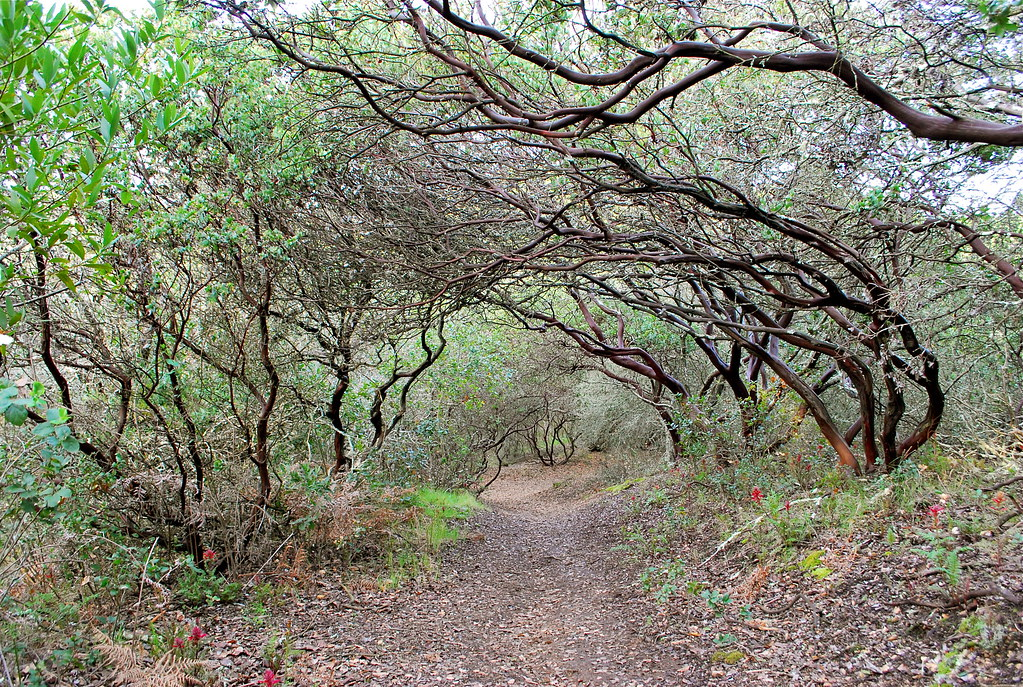 Path with Manzanitas | by nickton