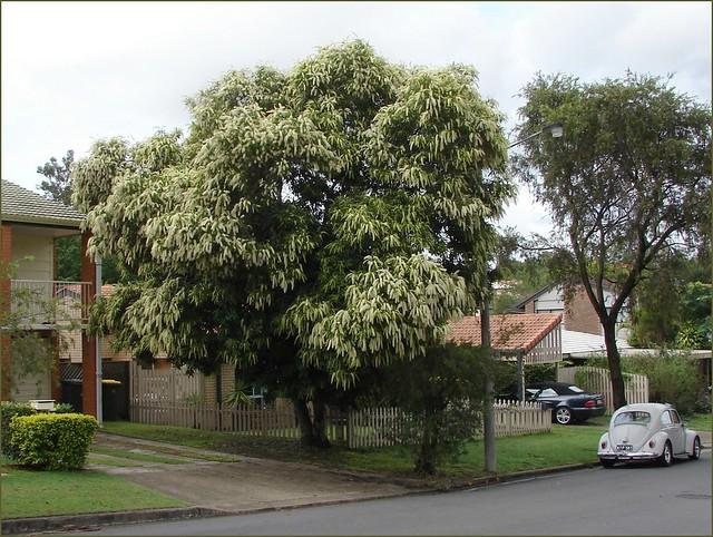 Small Native Australian Trees Tree Australian Native