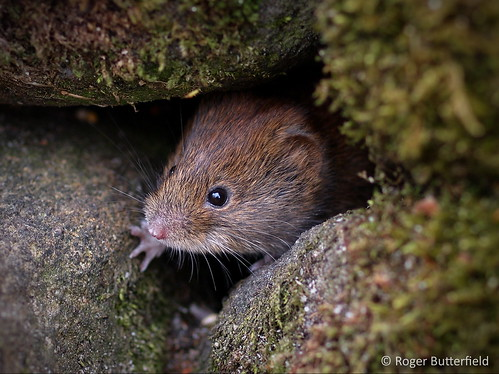 Bank Vole | by Roger B.