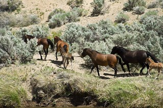 Wild Horses at the Carson River | by ScottSchrantz