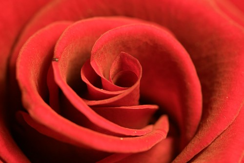Red Rose | by yozza