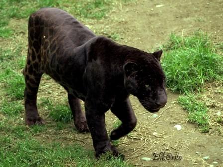 Jaguar Negro Los Jaguares Con Melanismo Exceso De Pigment Flickr