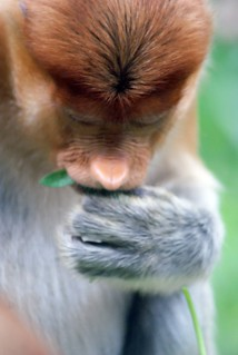 Proboscis Monkey: Lok Kawi Wildlife Park in Borneo, Malaysia | by dbillian