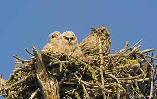 The Great Horned Trio | by jimgspokane
