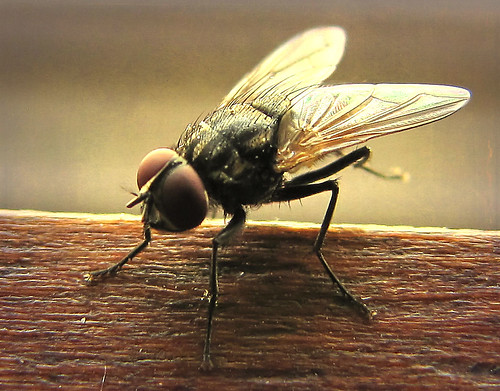 House fly, kinda pretty in an ugly way! | by christineellen