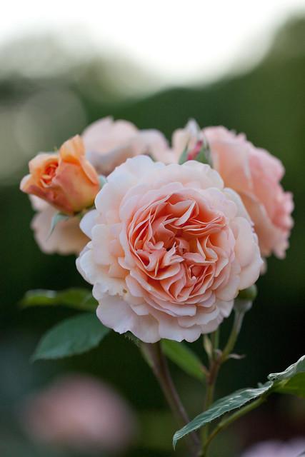 rose charles austin flickr photo sharing. Black Bedroom Furniture Sets. Home Design Ideas