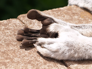 the feet of a ring tailed lemur | by Pickersgill Reef