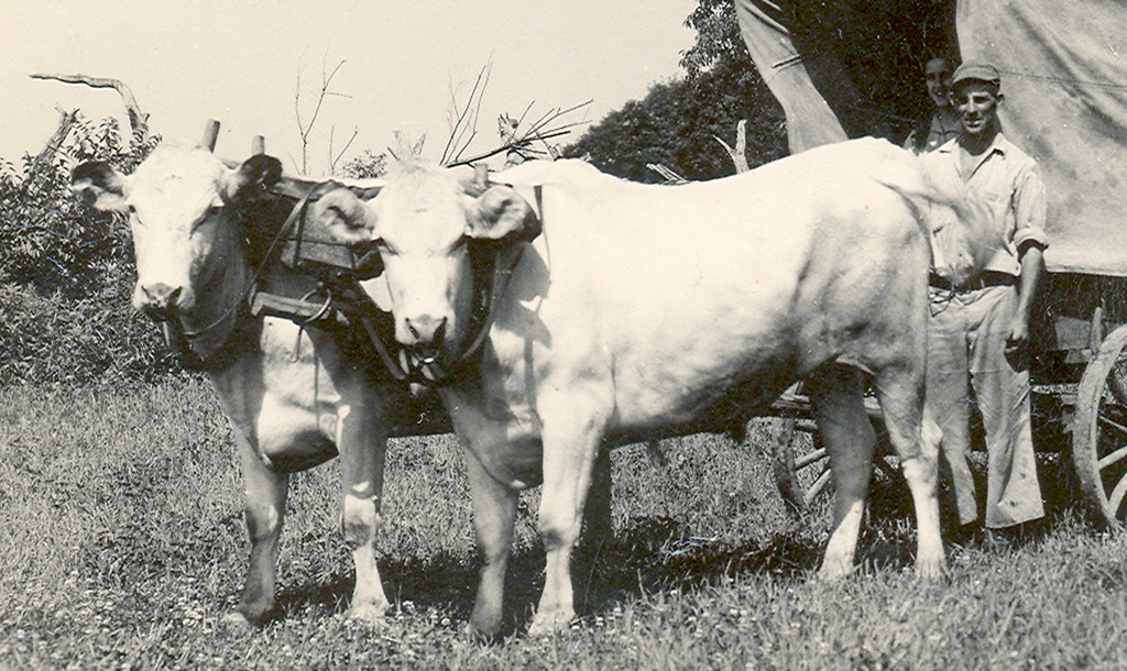 Legends of America Photo Prints | Westward Ho | Oxen Pulling ...