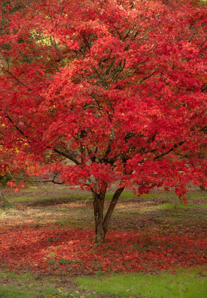 Maple Tree Red Maple Tree At Winkworth Arboretum In