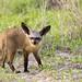 Bateared Fox (Otocyon megalotis)