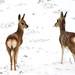 Tibetan gazelles Goa  དགོ་བ  (Procapra picticaudata)