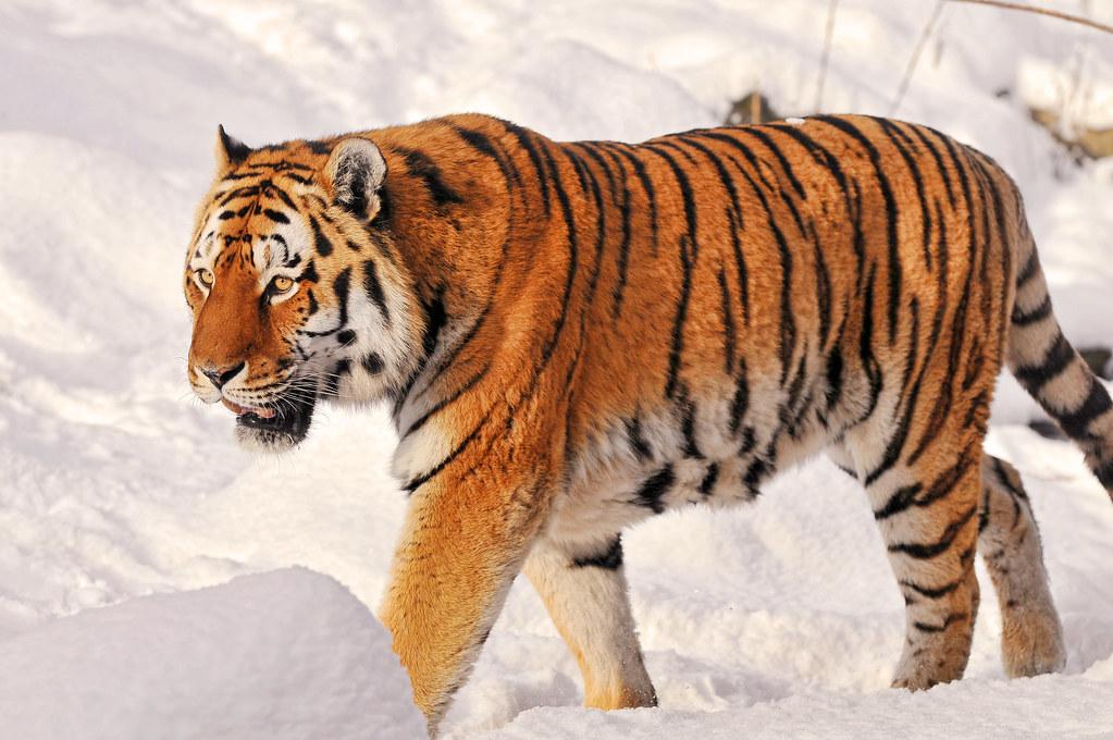 Фото амурские тигры