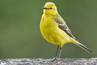 Yellow wagtail (Motacilla flava) | by Roland Bogush