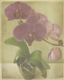 Phalaenopsis | by Rose Mist
