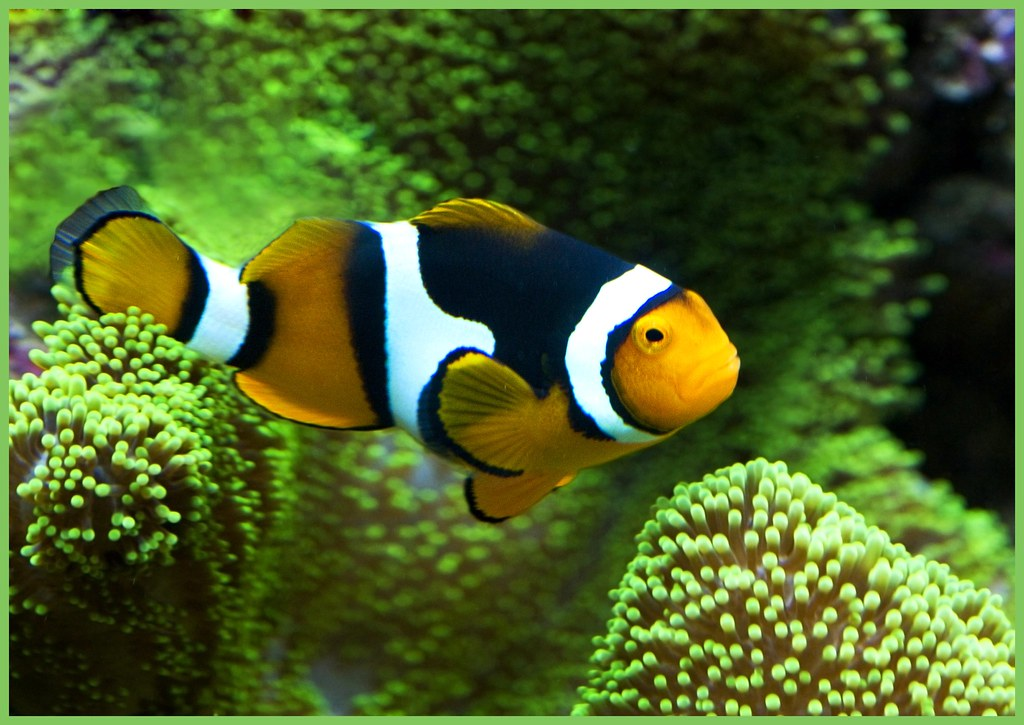 Clownfish close up amphiprion ocellaris clown fish for What do clown fish eat