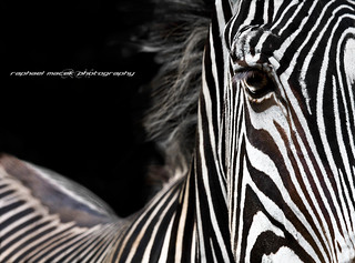 Zebra Look | by Raphael Macek - Horse Photography