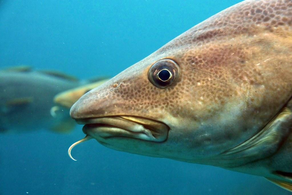 Torsk kabeljau atlantic cod gadus morhua joachim s for Atlantic cod fish