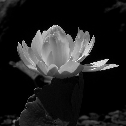 Bloodroot | by Dendroica cerulea