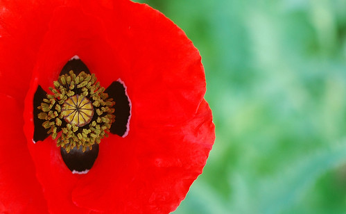 Irish poppy | by David Lev